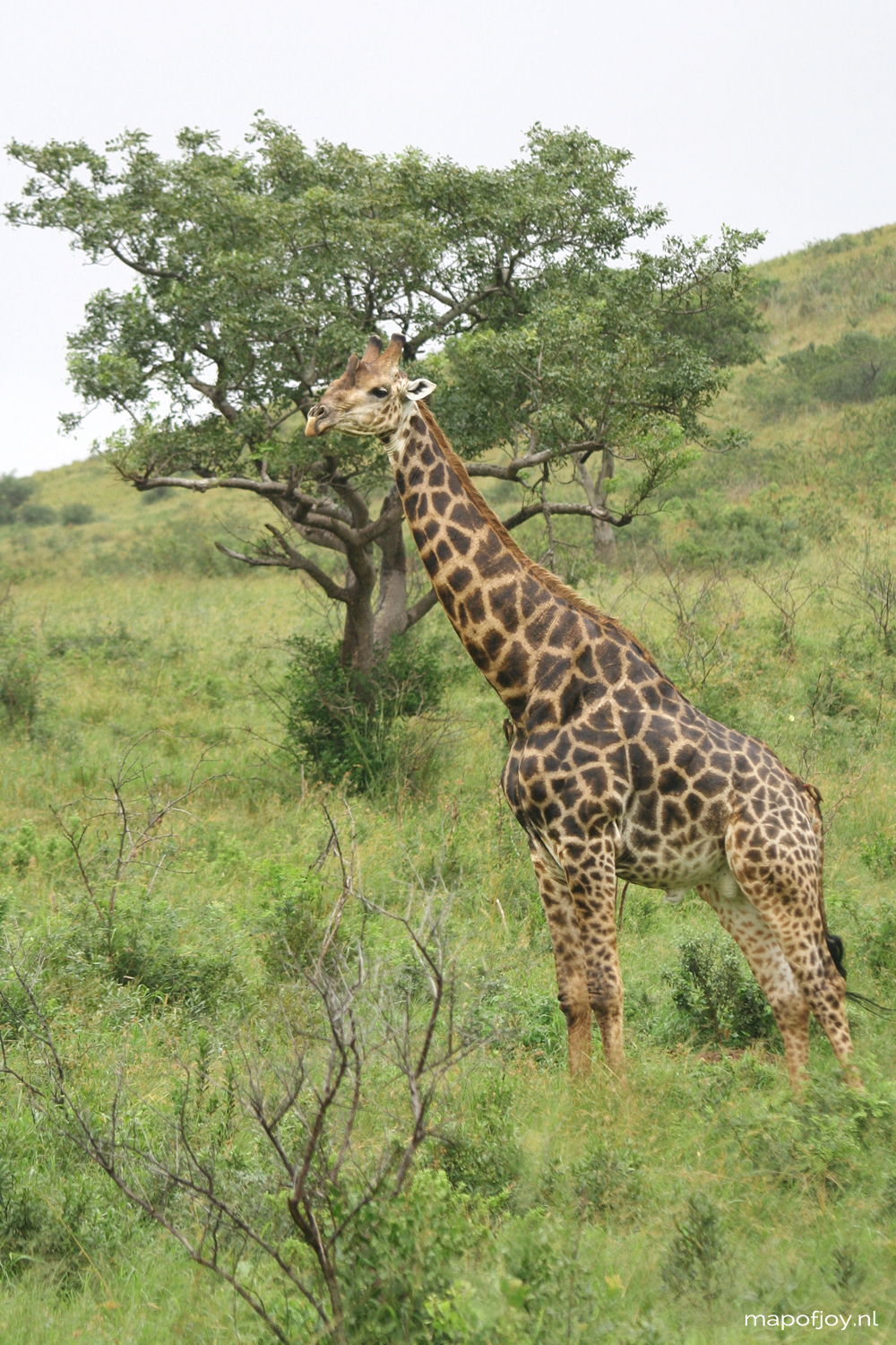 Safari Hluhluwe Umfolozi, South-Africa, travel, giraffe - Map of Joy