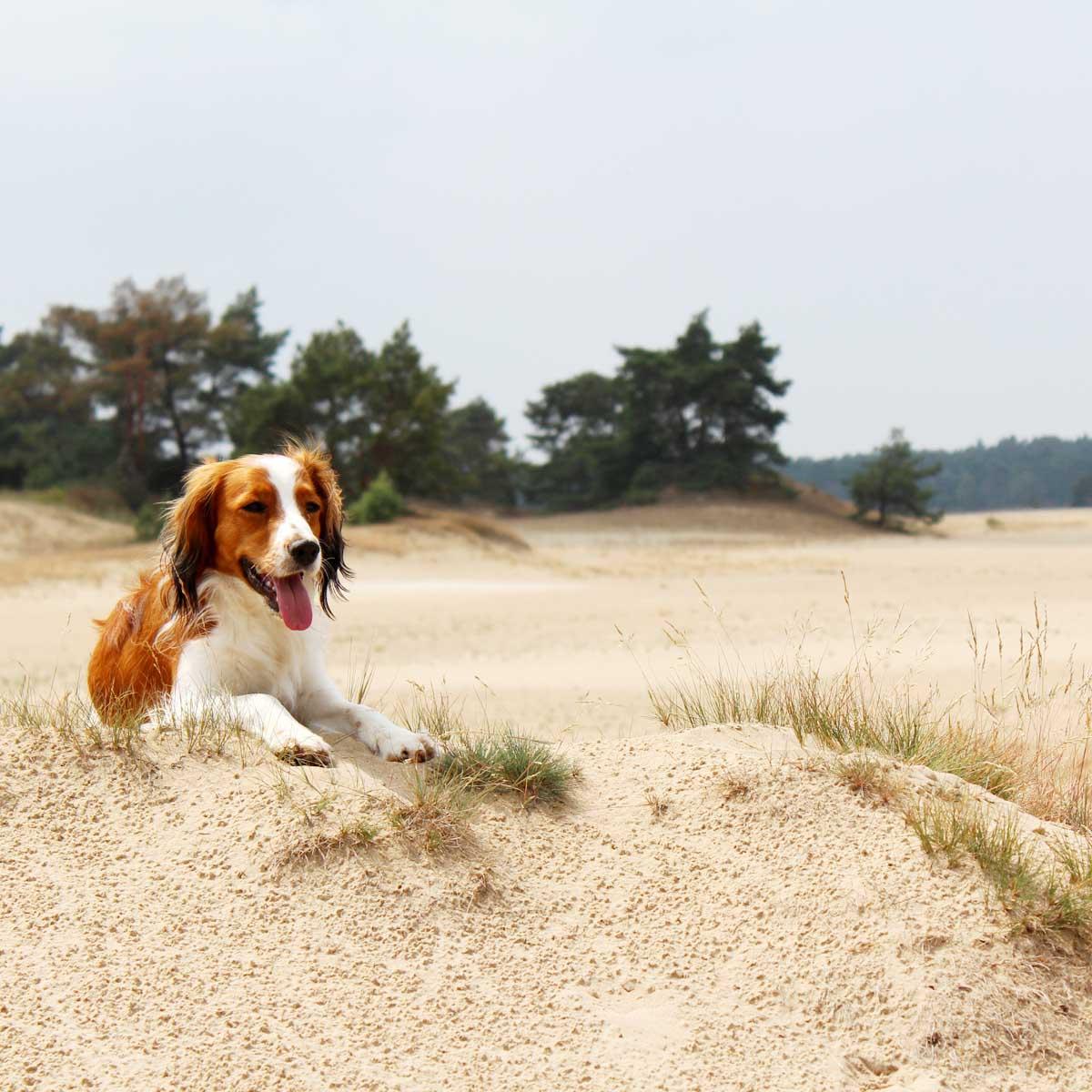 Wandelen met hond in Hulshorsterzand Veluwe - Map of Joy