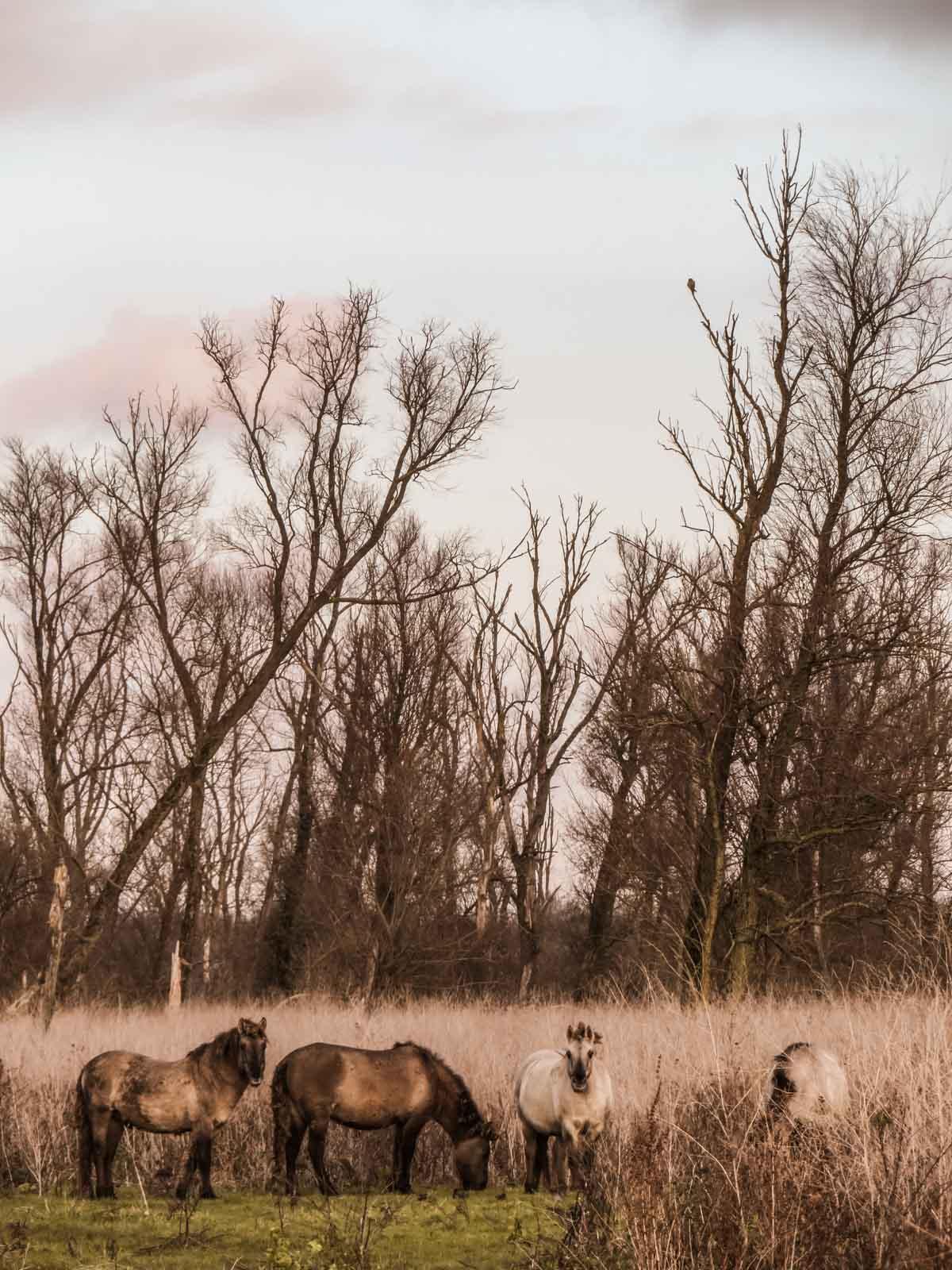 konikspaarden in de Oostvaardersplassen