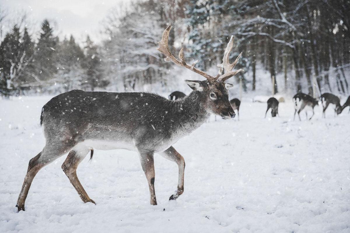 Rendiersledetocht met Sami in Tromso